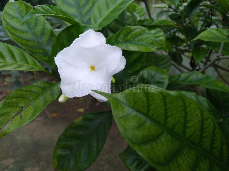White flower beautiful bud nature leafs green. Botanical, earth royalty free stock photos