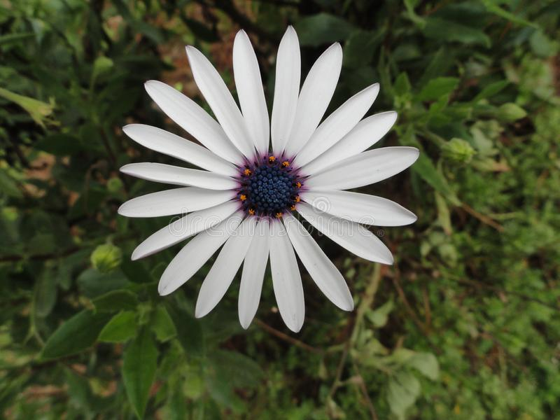 White flower, with beautiful petals, Himalaya mountains, India. Very rare stock photography