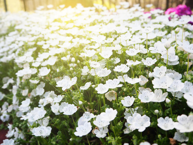 White flower bed stock photo image of ornamental floral 92529476 download white flower bed stock photo image of ornamental floral 92529476 mightylinksfo