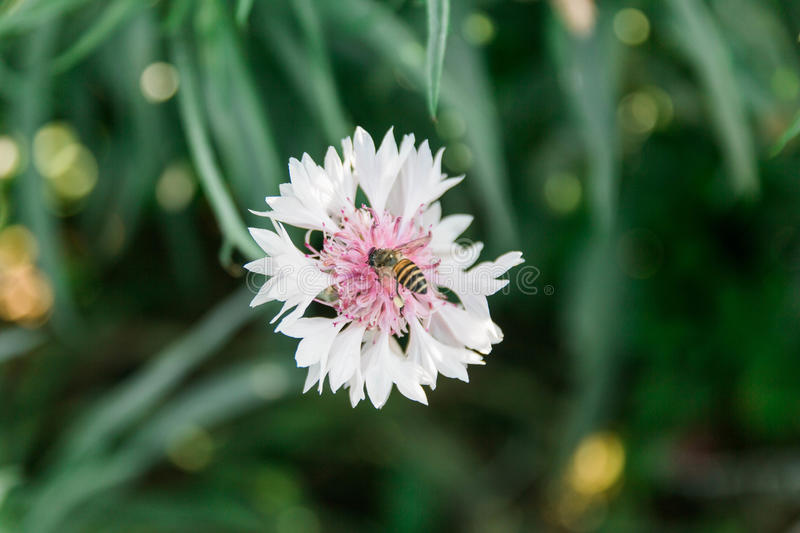 White flower with bee stock image