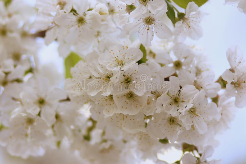 White, Flower, Blossom, Spring royalty free stock images
