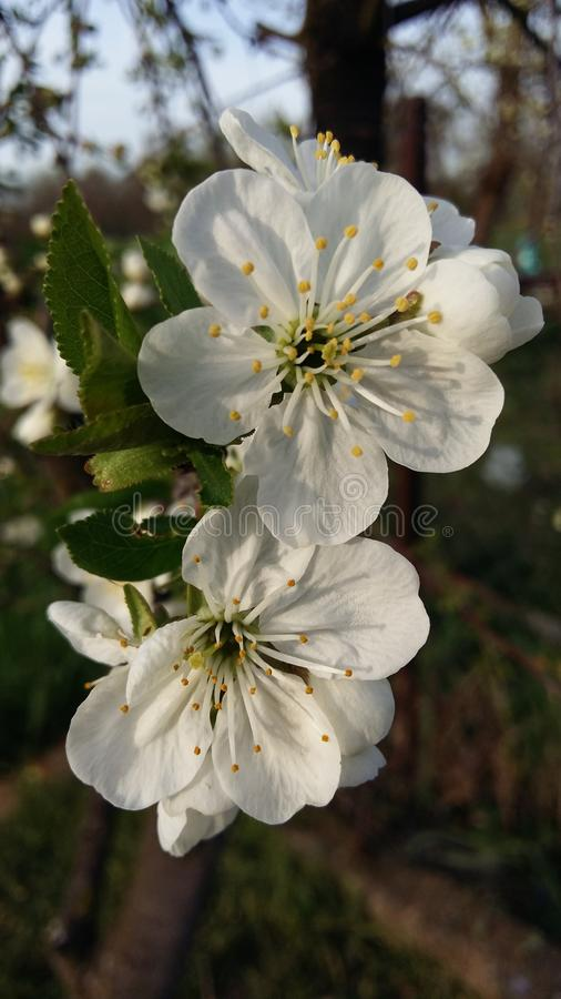 White, Flower, Blossom, Spring royalty free stock photo