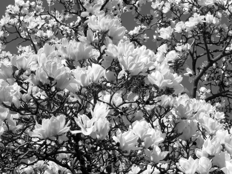 White Flower Blossoms of Late March. Black and white photo of white flower blossoms in late march in full bloom stock photos