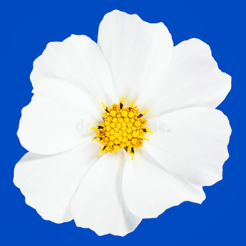 White flower in blue royalty free stock photos