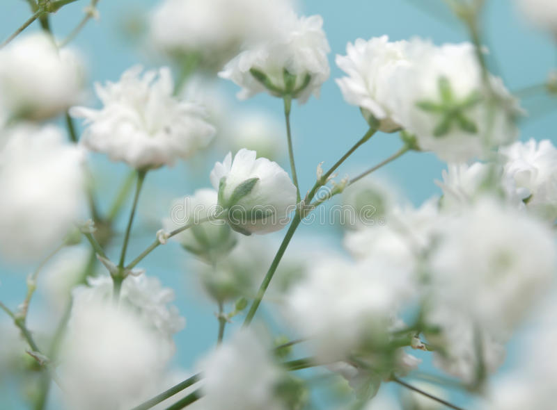White flower on blue background. stock photo