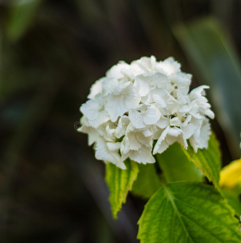 White Hydrangea flower and close up photography. Macro photo of a pink Hydrangea flowers with shallow depth of field. Pink Hydrangea flower garden royalty free stock photo
