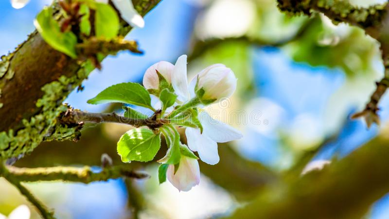 White flower buds with pink touches on the apple tree branch with a blurred background. Wonderful sunny spring day in Oensel south Limburg in the Netherlands royalty free stock photography