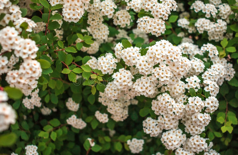White flower bushes in the a blurred background royalty free stock photo