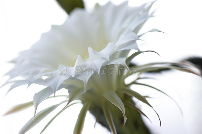 White flower cactus blossoms, isolated, close-up, unique, plant, botany, seeds stock photography