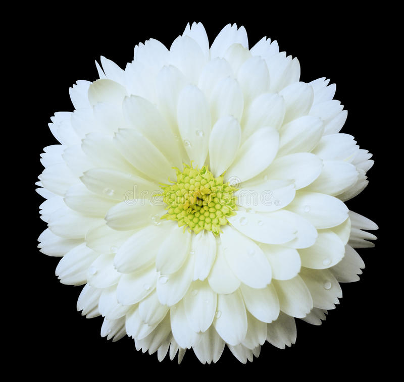 White flower calendula the black isolated background with clipping white flower calendula the black isolated background with clipping path nature closeup no shadows flower light yellow center with dew mightylinksfo