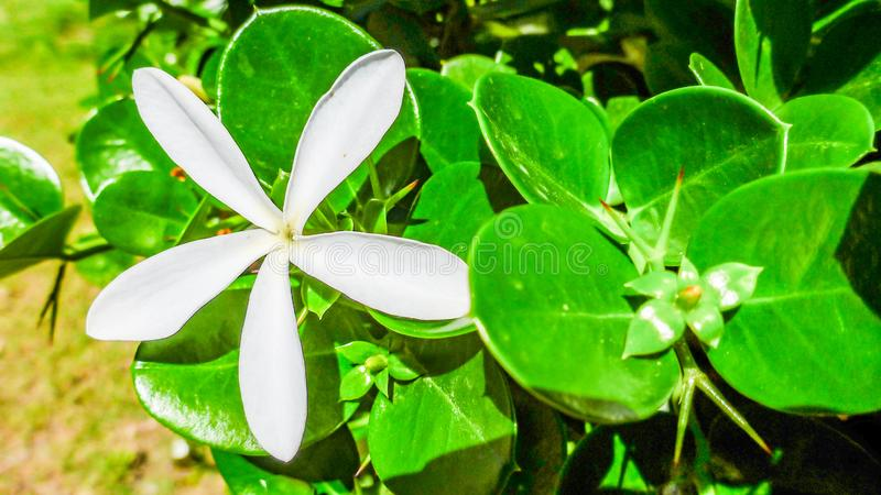 White flower of Carissa macrocarpa Natal Plum close up, Israel. royalty free stock images