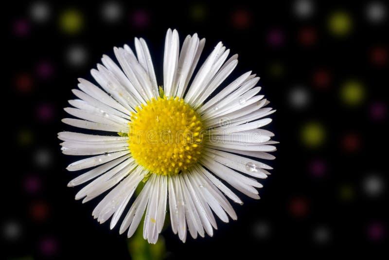White flower close up, macro photo with bokeh background. Shallow dof. royalty free stock photo