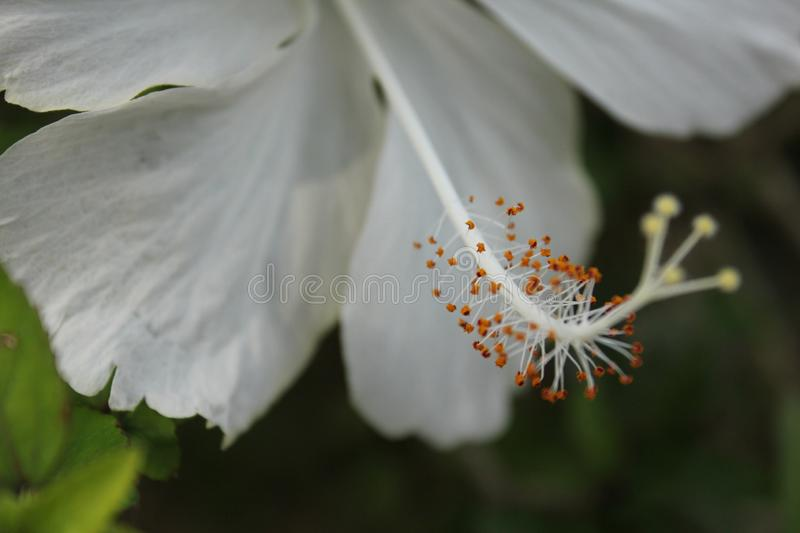 White flower close up shot and pollen. White flower close up shot ,pollen and leafs background stock photography