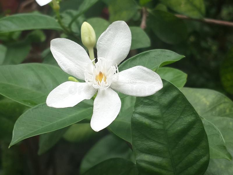 White flower closeup, Cape Jasmine, Apocynaceae, Gardenia jasminoides, Wrightia antidysenterica india. Flower White closeup, Cape Jasmine, Apocynaceae, Gardenia stock images