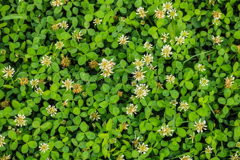 White flower clover. Background of blooming clover flowers on a green field. Wild flowering clover grows in the ground royalty free stock image