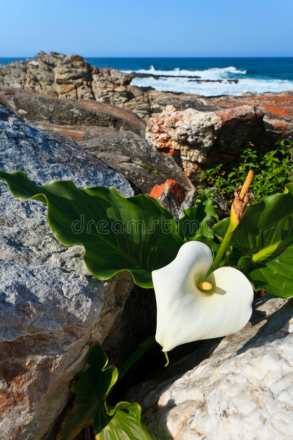 Download White Flower At The Coastline Stock Image - Image: 23728331