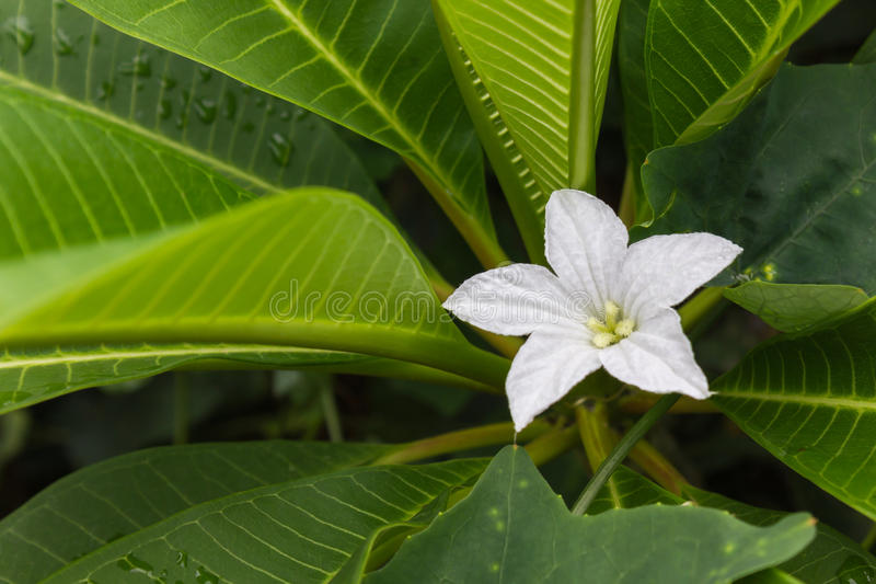 White flower of coccinia grandis on fresh green leaf of plumeria tree in morning light for nature background, single white flower royalty free stock photos