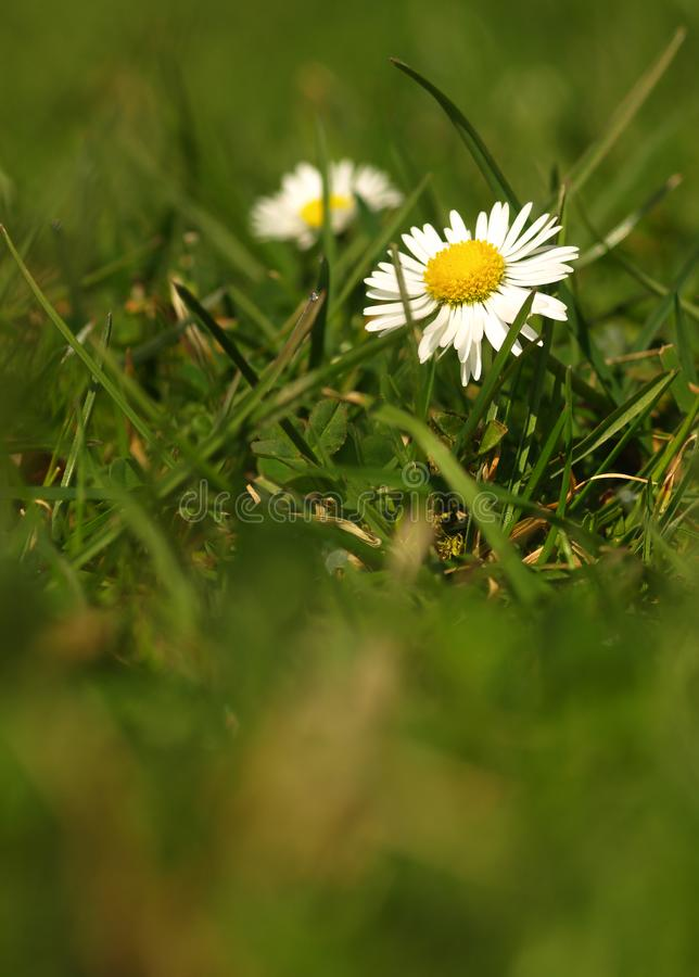 White flower common daisy herbaceous perennial of medical plant in grass on meadow near forest with green leaves and stem at sunse stock images