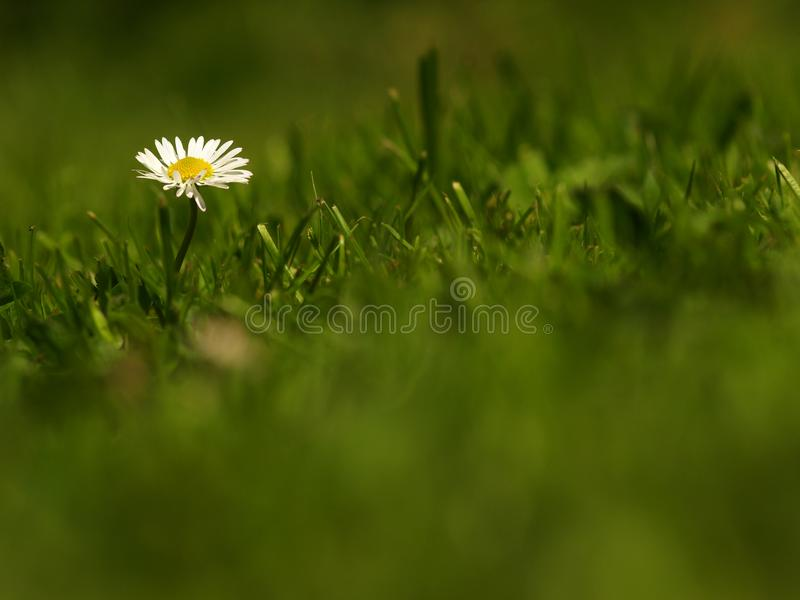 White flower common daisy herbaceous perennial of medical plant in grass on meadow near forest with green leaves and stem at sunse royalty free stock images