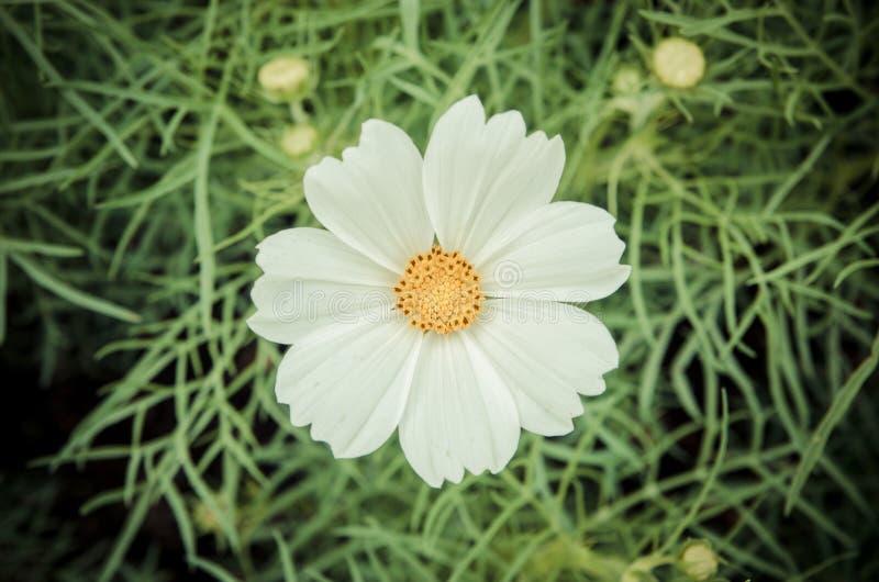 White flower. White cosmos flower in the garden royalty free stock photo