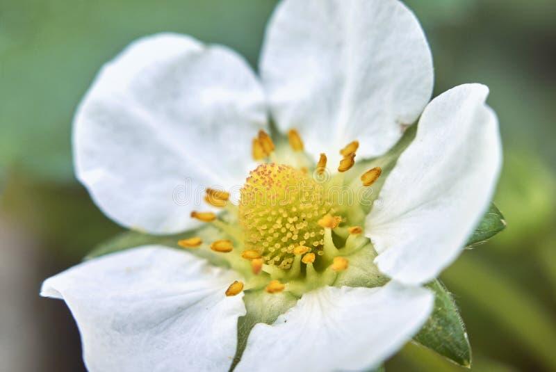 White flower detail of Fragaria x ananassa. Flower macro of Fragaria x ananassa plant stock photography