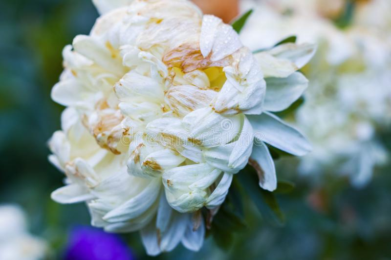 White flower and drops of wate close up stock image