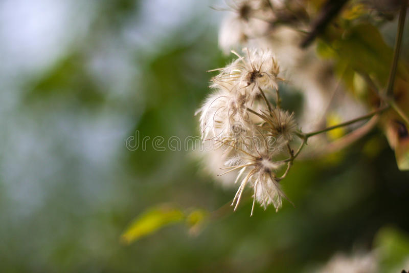 White flower extreme bokeh. A volunteer sof focused photo of a white flower royalty free stock photos