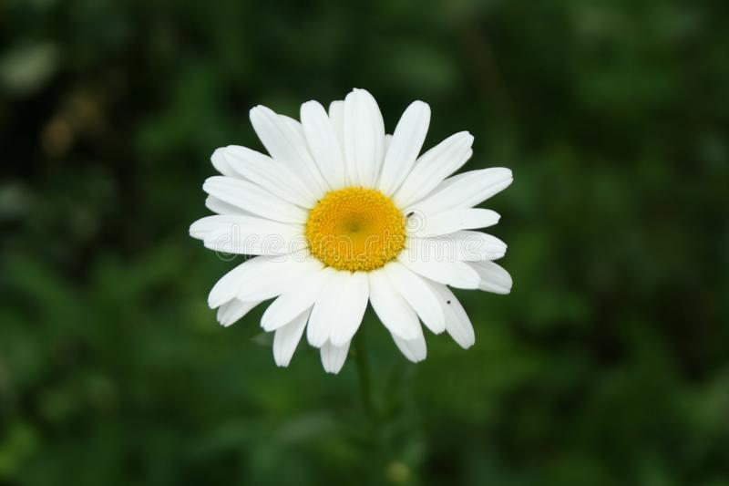 White flower in a green field royalty free stock photography