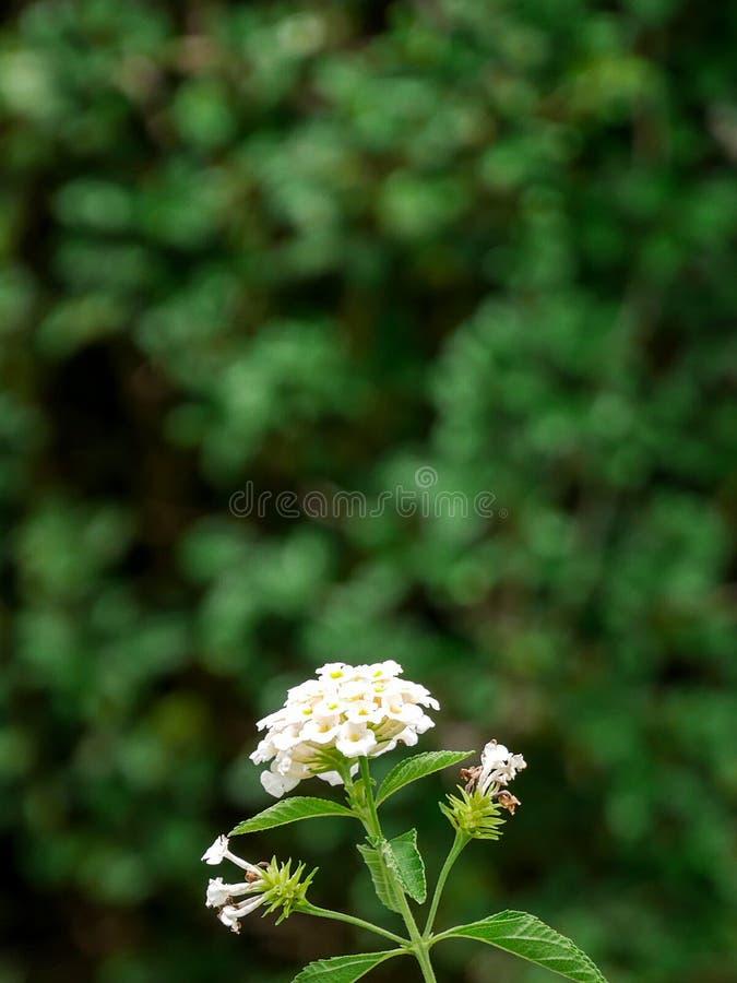 White flower in the garden royalty free stock photos