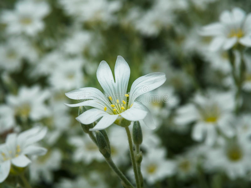 White Flower In Garden. Field Of Small White Flowers Shooting With ...