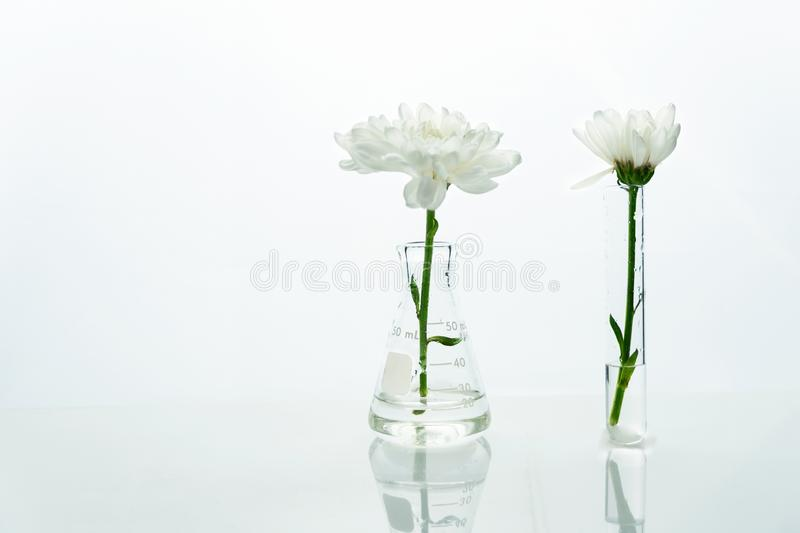 White flower in the glass flask and test tube in clean medical biotechnology science laboratory royalty free stock image