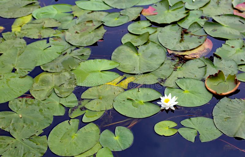 White flower and leaves of water lilies floating above the pond. White flower and green leaves of water lilies floating above the lake royalty free stock image