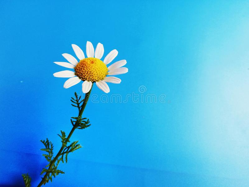 White flower with a green stem chamomile isolated on blue stock images