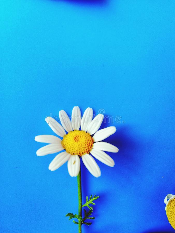 Large white flowers with green stalk and chamomile leaf isolated on a blue background, Studio photography,beautiful wild daisy whi. White flower with a green stock images