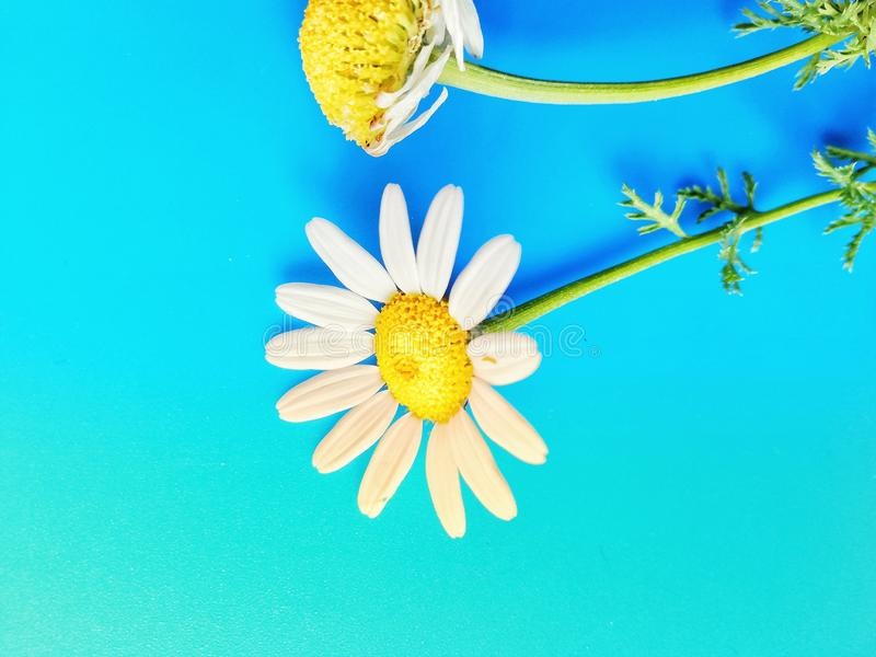 Large white flowers with green stalk and chamomile leaf isolated on a blue background, Studio photography,beautiful wild daisy whi. White flower with a green stock photos