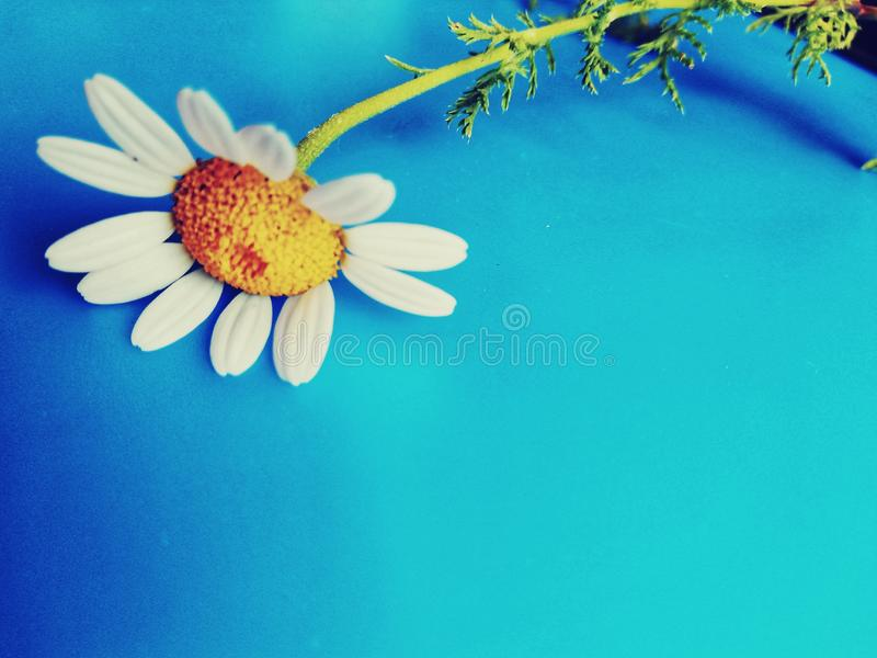 Large white flowers with green stalk and chamomile leaf isolated on a blue background, Studio photography,beautiful wild daisy whi. White flower with a green royalty free stock photos
