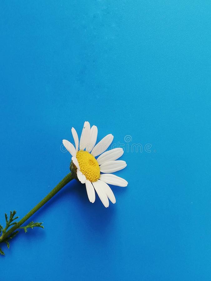 Large white flowers with green stalk and chamomile leaf isolated on a blue background, Studio photography,beautiful wild daisy whi. White flower with a green royalty free stock images