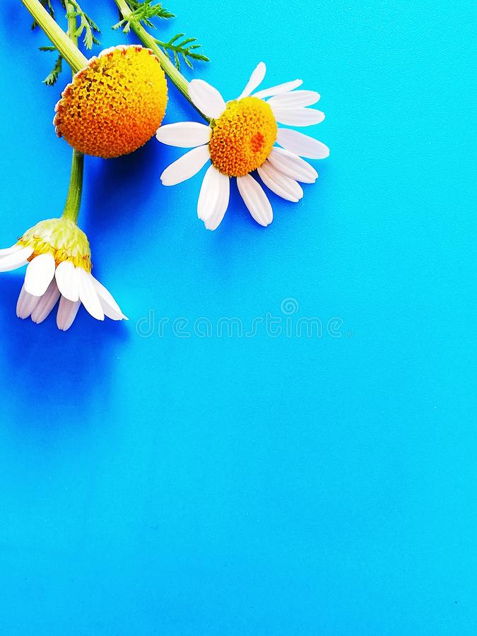 Large white flowers with green stalk and chamomile leaf isolated on a blue background, Studio photography,beautiful wild daisy whi. White flower with a green royalty free stock photography