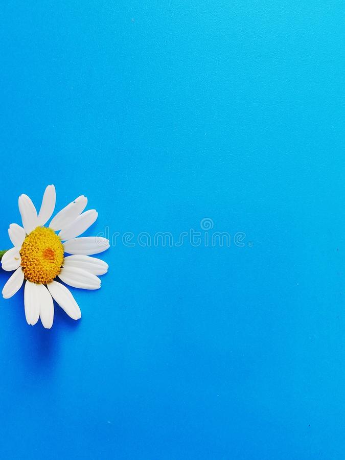 Large white flowers with green stalk and chamomile leaf isolated on a blue background, Studio photography,beautiful wild daisy whi. White flower with a green stock photography