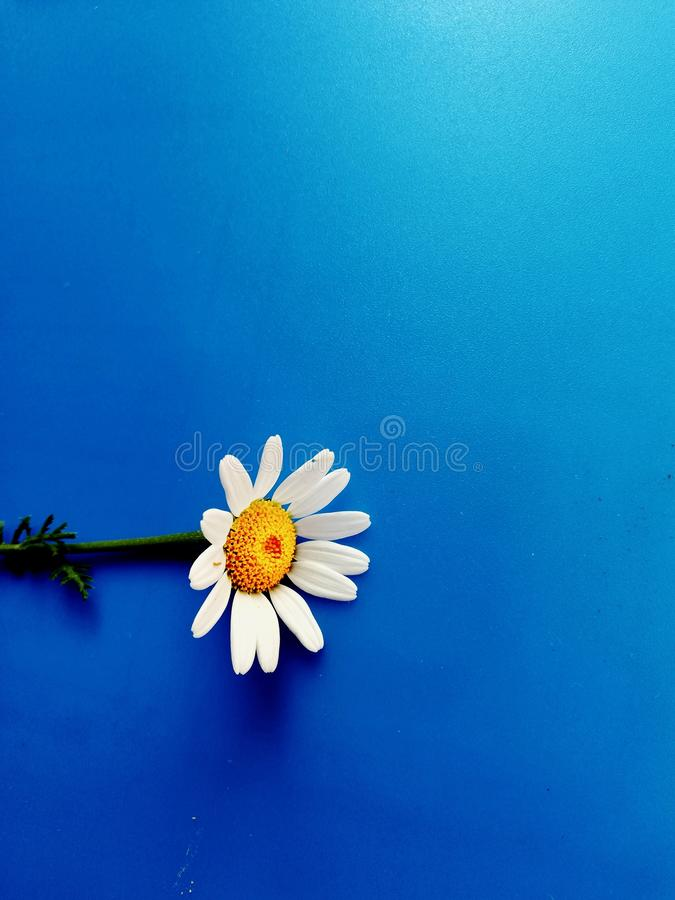 Large white flowers with green stalk and chamomile leaf isolated on a blue background, Studio photography,beautiful wild daisy whi. White flower with a green royalty free stock photo