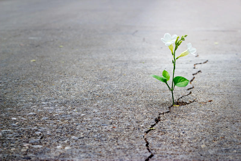 White flower growing on crack street, soft focus, blank text stock photos