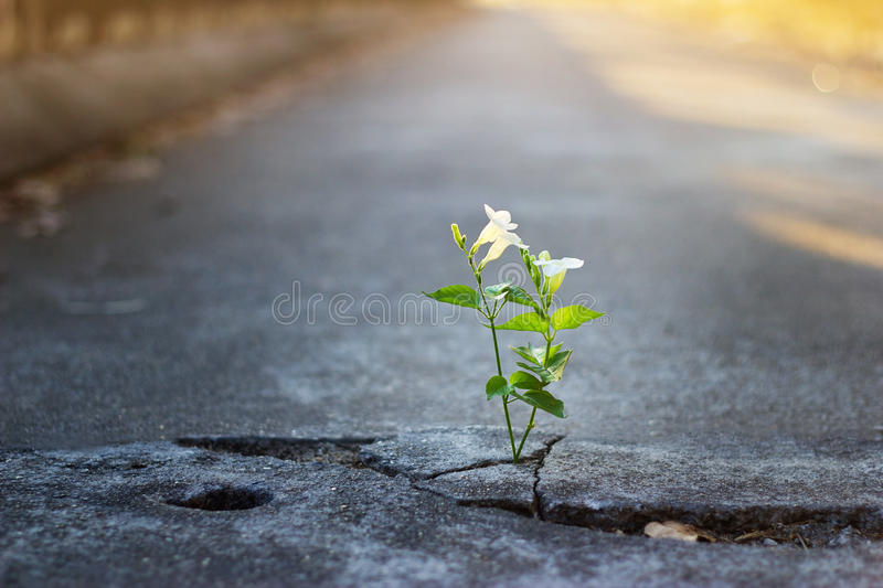 White flower growing on crack street, soft focus royalty free stock images