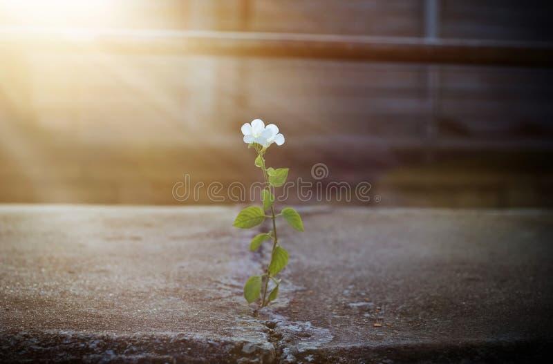 White flower growing on crack street in sunbeam royalty free stock image