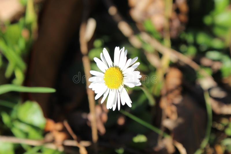 The white flower growing in the grass in the garden. This flower is growing in the grass in the garden. This photo is made on a sunny winter day in a garden in stock image