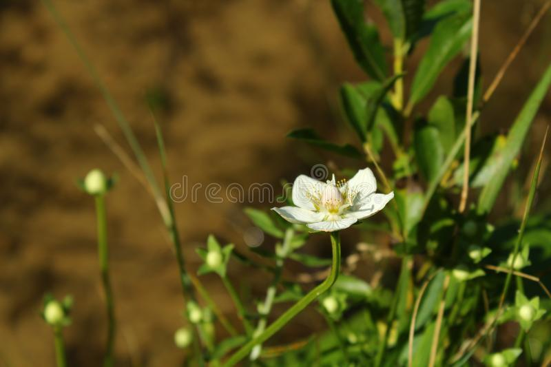 White flower. Growing beside to lake stock photography