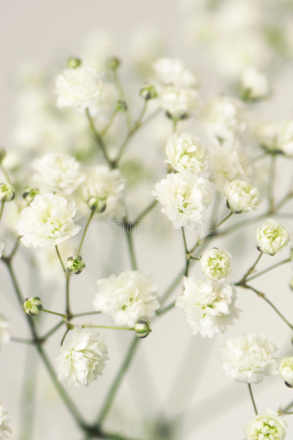 White flower gypsophila stock photo image of gardening 35968106 download white flower gypsophila stock photo image of gardening 35968106 mightylinksfo