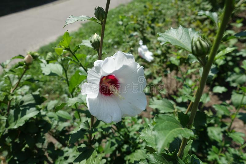White flower of Hibiscus syriacus with eye of maroon. White flower of Hibiscus syriacus with eye of deep maroon stock photo