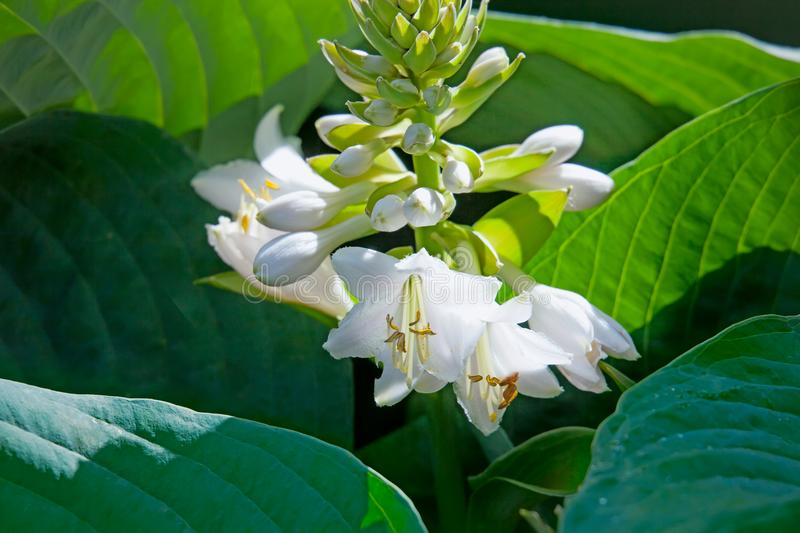 White flower hosts. Close up. White flower hosts in garden. Close up royalty free stock photos