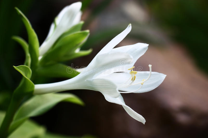 White flower hosts. On flower runaway hosts the first flower of white color has opened royalty free stock photos