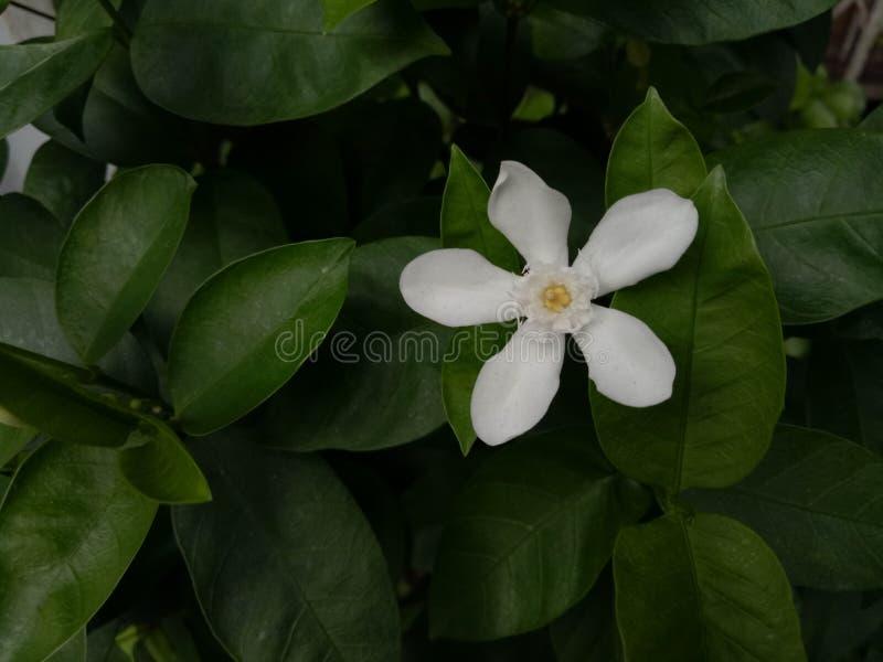 white flower. royalty free stock photo